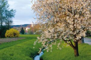Baumblüte Bad Birnbach
