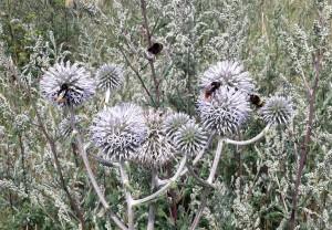 Bienen und Hummeln auf Distel