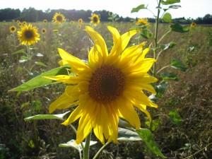 Sonnenblume zum Geburtstag des Tourismusverbandes Ostbayern
