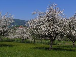 Apfelblüte im Lallinger Winkel