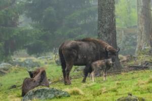 Wisent im Tier-Freigelände bei Neuschönau